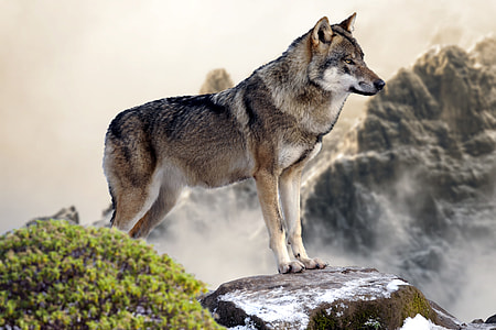 gray and black wolf standing on rock