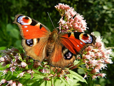 peacock butterfly perched on pink petaled flower in closeup photography