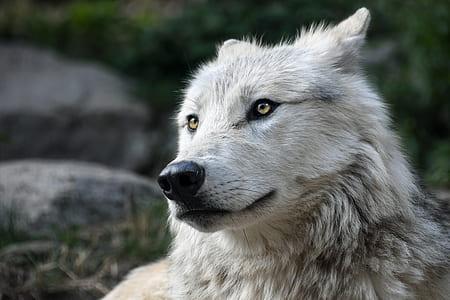 wildlife photography of white wolf