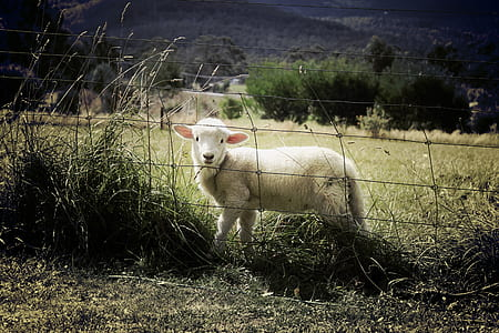 white sheep beside fence