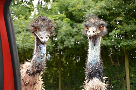 two ostriches