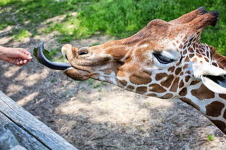 person feeding giraffe at daytime