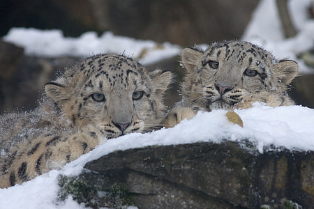 two leopards in snowfield