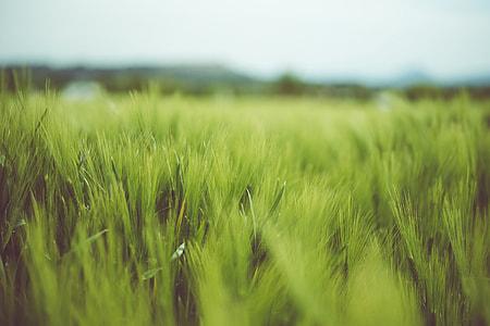 Landscapeshot of green grass in a field