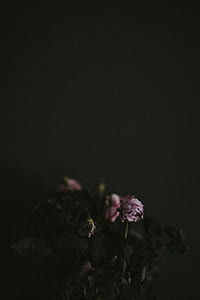 withered pink rose flowers