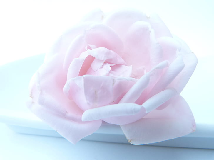pink rose on white dish