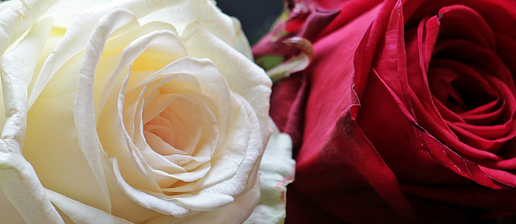 closeup photo of two white and red Rose flowers