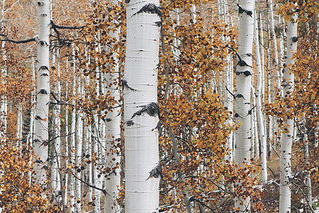 white tree trunks with brown leaves