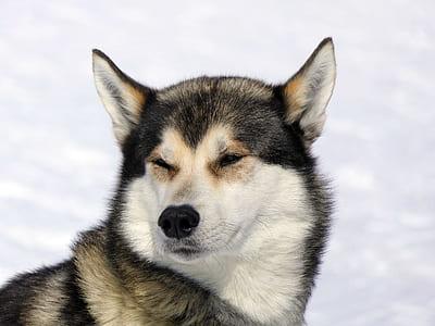 adult white and black Alaskan malamute dog