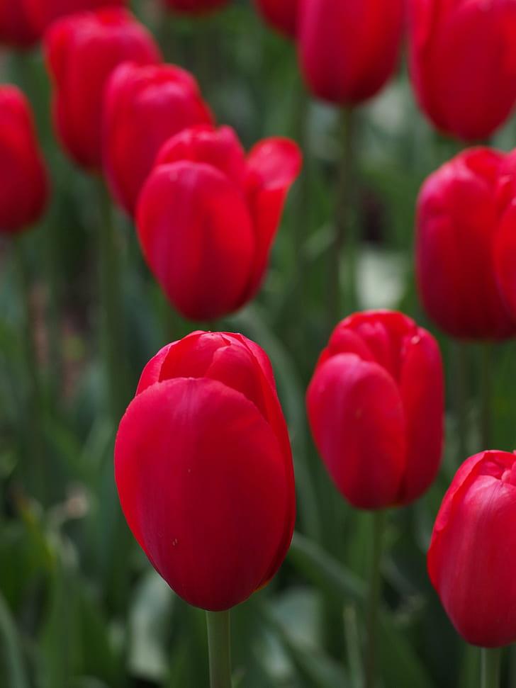 red tulip closeup photo