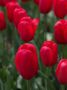 red tulip closeup photo