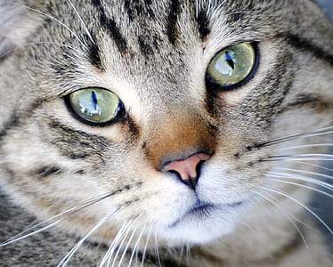 close up photography of silver Tabby cat