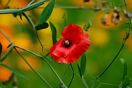 red poppy flower in closeup photo