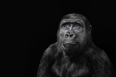 black ape with black backgroud