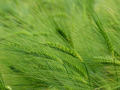green wheath