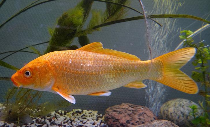 orange pet fish