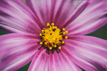 Close-up macro shot of a Cosmos flower, image captured with a Canon 6D DSLR
