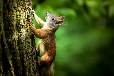 brown squirrel climbing the tree