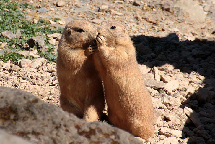 close up photography of two brown animals on stones