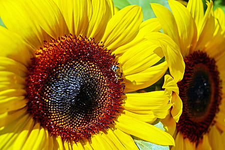 closeup photo of two sunflowers