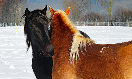 brown and black horses on snow field