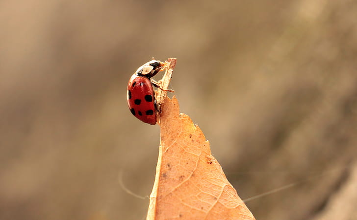 close up photo of red and black ladybug on dried leaf