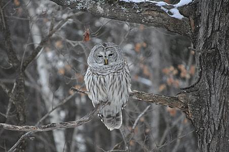 grey owl photo