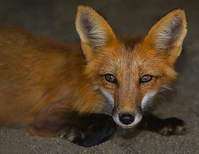 macro shot of fox