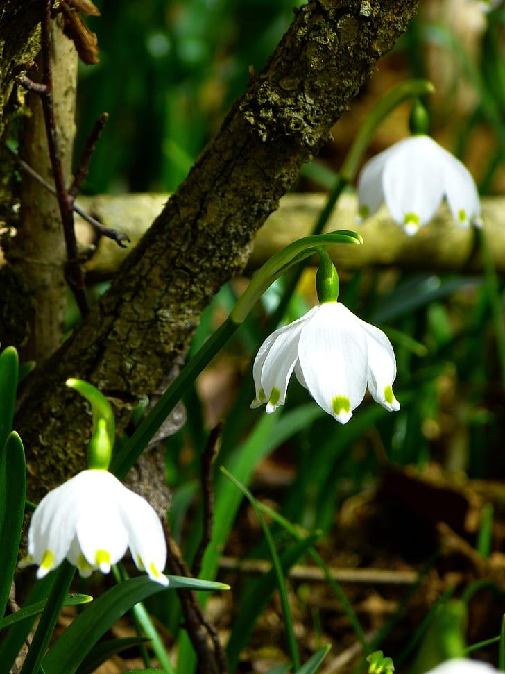 snowflake, fruehlingsknotenblume, spring, spring flower, flower, white