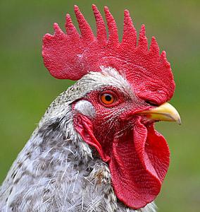 closeup photo of gray chicken