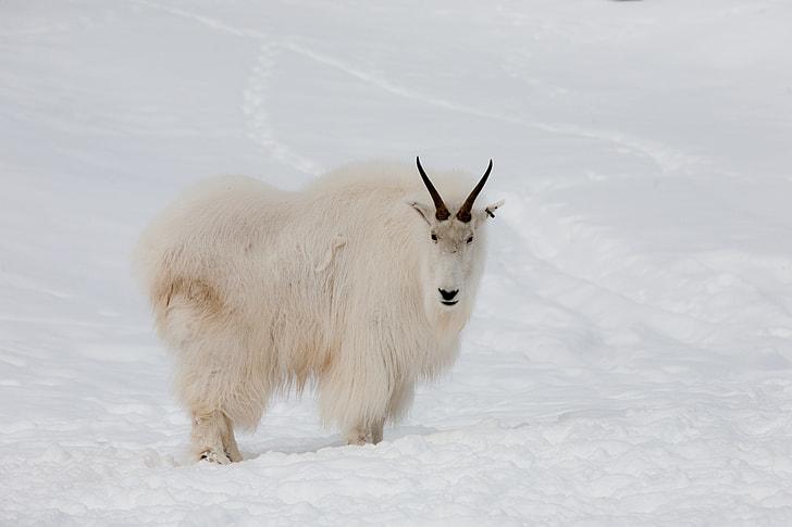 Royalty-Free photo: White mountain ram on snow capped ground | PickPik
