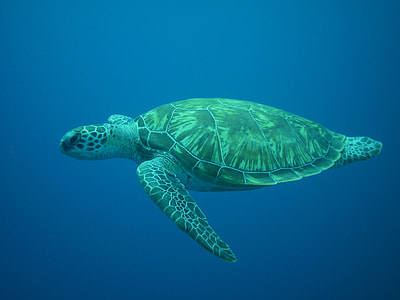 swimming brown and green turtle