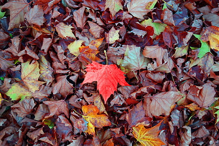 photo of dried maple leaves