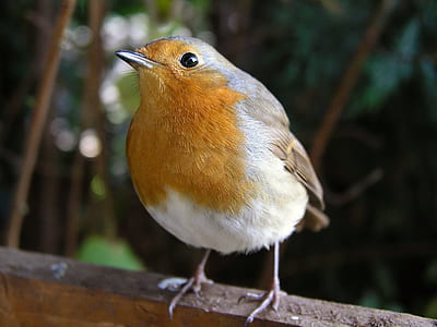 focus photography of European robin