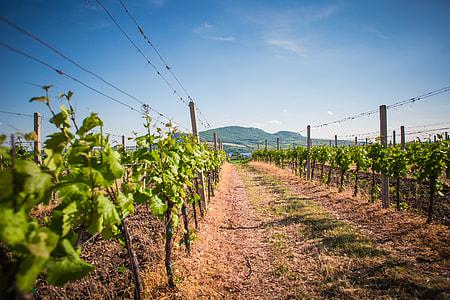 Vineyards and Palava hills, Czech Republic