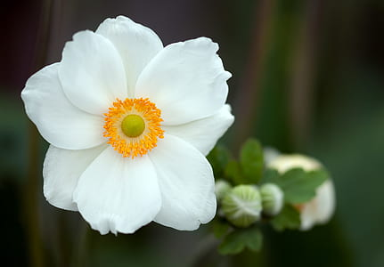 white anemone poppy selective-focus photo