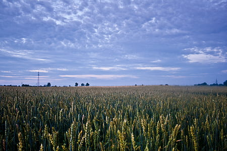 Corn field before night