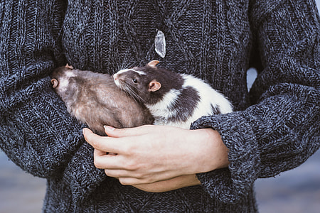 photo of person holding two brown and black-and-white mice