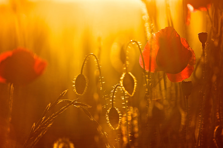 red poppies in bloom at sunset
