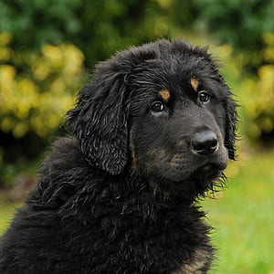 selective focus photography of black and tan Tibetan mastiff puppy