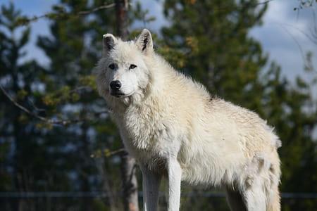 tilt lens photography white wolf during daytime