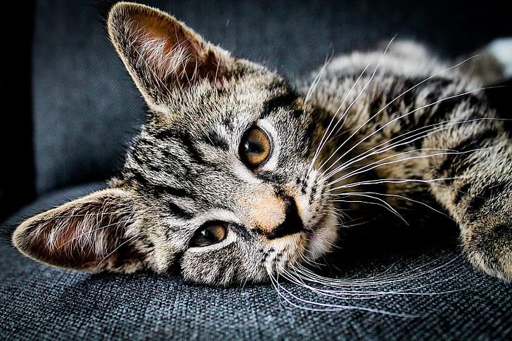gray tabby kitten lies on black textile