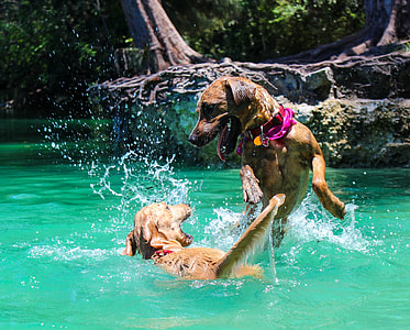 two short-coated brown dogs playing on water during daytime