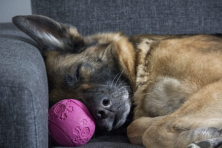 sleeping adult German shepherd at the sofa near pet ball toy