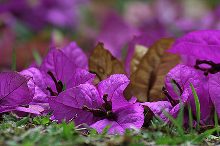 purple bougainvillea in shallow focus photography