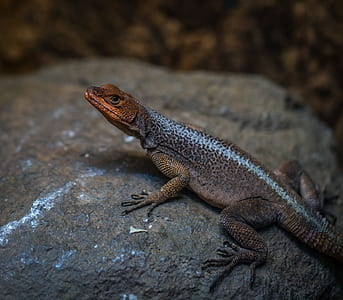 Reptile on Rock