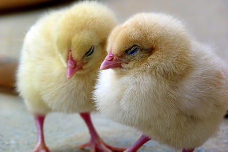 closeup photo of two chicks
