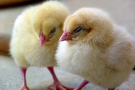 closeup photo of two chicks