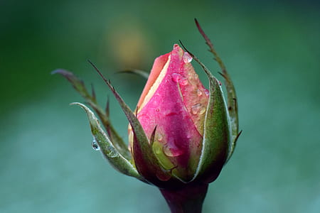 selective focus photography of pink rose bud