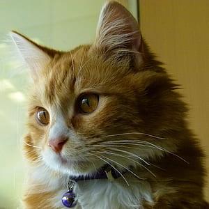 orange furred cat wearing purple bell